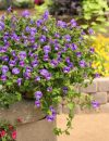 Torenia-Summer-Wave-Trailing-Large-Blue-302