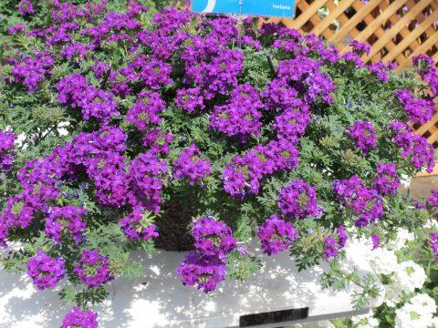 Verbena-Tapien-Blue-Violet-Improved-301