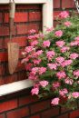 Verbena-Tapien-Pink-Improved-301
