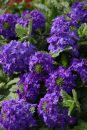 Verbena-Temari-Patio-Blue