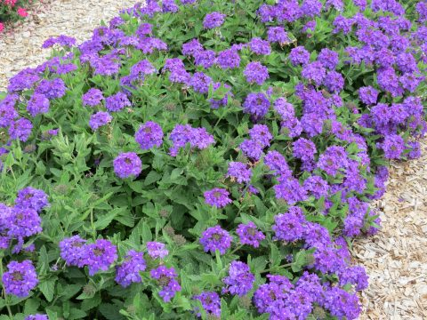 Verbena-Temari-Patio-Blue-301