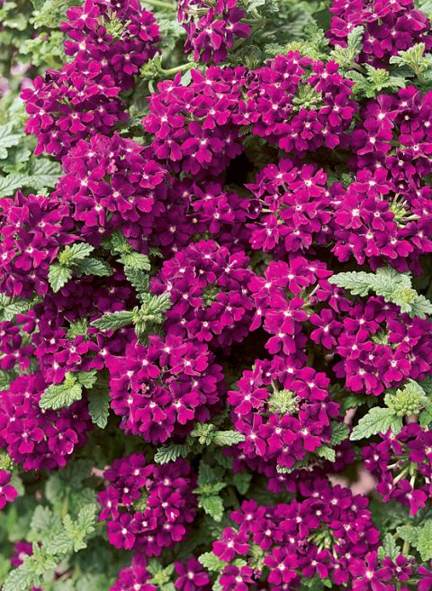 Verbena-Temari-Patio-Hot-Pink-001