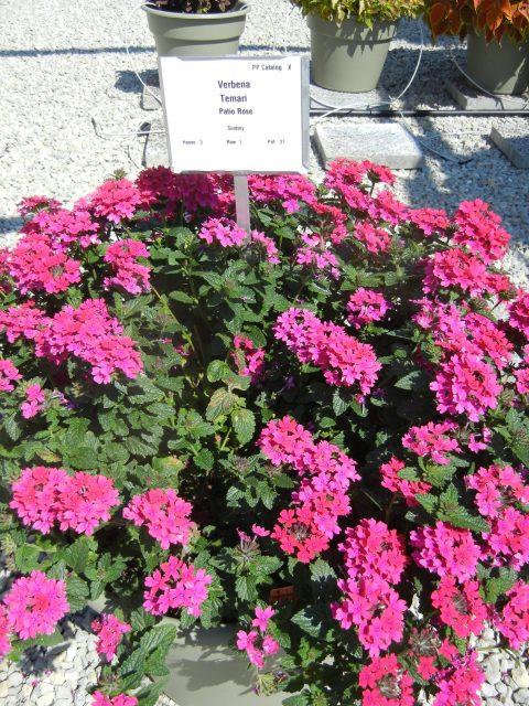 Verbena-Temari-Patio-Rose-301