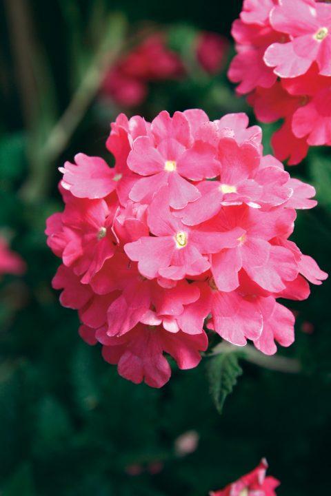 Verbena-Temari-Trailing-Bright-Pink-001