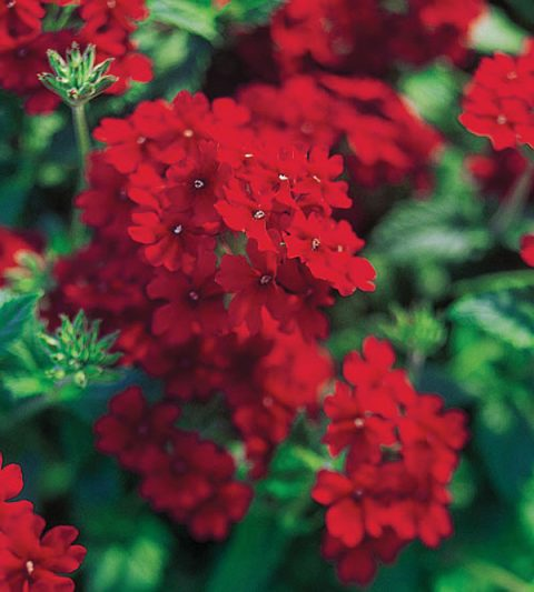 Verbena-Temari-Trailing-Red-001