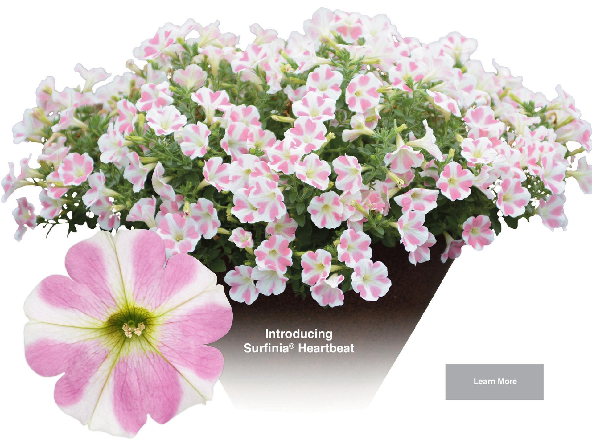 Suntory Surfinia Heartbeat Petunia