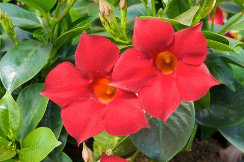 Mandevilla-SunParasol-Garden-Crimson-002