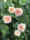 Rose-Brindabella-Dawn-002