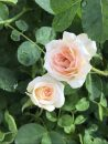 Rose-Brindabella-Dawn-003