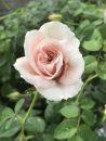 Rose-Brindabella-Dawn-004