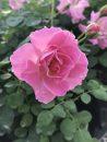 Rose-Brindabella-First-Lady-001