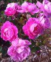 Rose-Brindabella-First-Lady-302