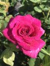 Rose-Brindabella-Purple-Prince-003