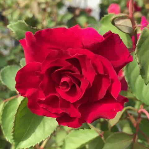 Rose-Brindabella-Red-Empress-003