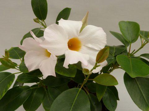 Mandevilla-SunParasol-Garden-White-001