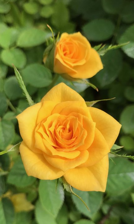 Rosa-Sunrosa-Yellow-Delight-001