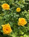 Rosa-Sunrosa-Yellow-Delight-301