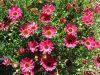 Argyanthemum-Grandaisy-Dark-Pink-003
