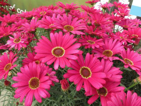 Argyanthemum-Grandaisy-Dark-Pink-004