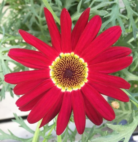 Argyanthemum-Grandaisy-Red-improved-001