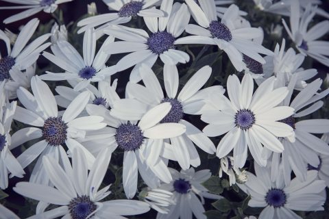 Pericallis-Senetti-White-001