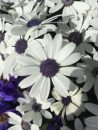Pericallis-Senetti-White-002