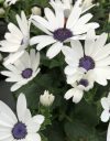 Pericallis-Senetti-White-005
