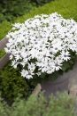 Pericallis-Senetti-White-301
