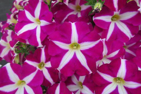 Petunia-Surfinia-Purple-Starshine-001