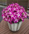 Petunia-Surfinia-Purple-Starshine-301