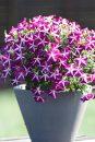 Petunia-Surfinia-Purple-Starshine-305
