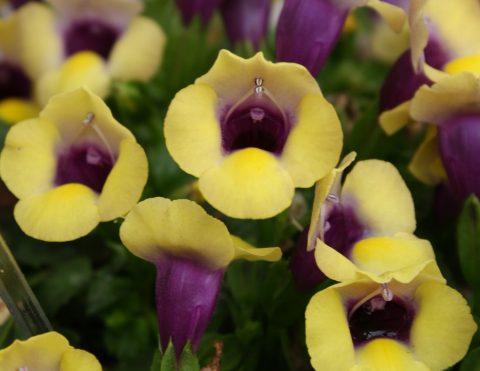 Torenia-Summer-Wave-Bouquet-Gold-001