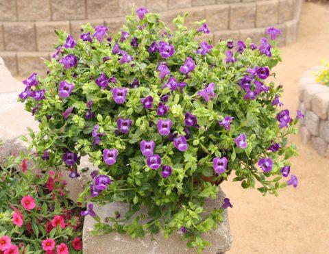 Torenia-Summer-Wave-Trailing-Large-Violet-301