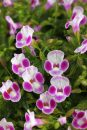 Torenia-Summe-Wave-Bouquet-Deep-Rose-002