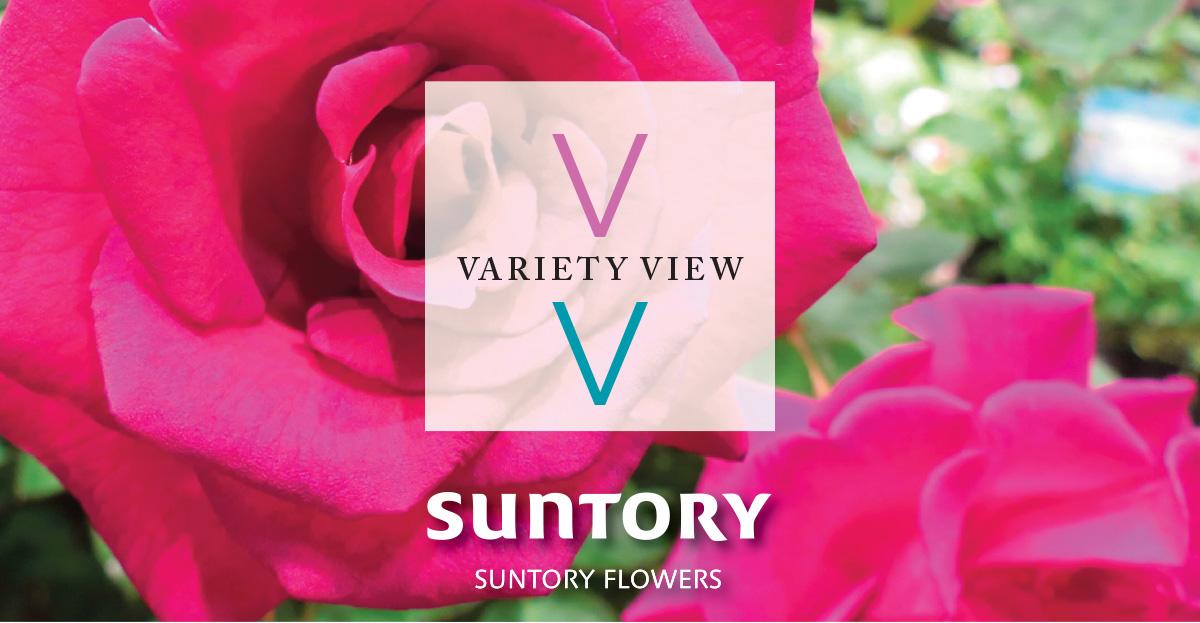 Suntory Flowers variety View Brindabella Roses
