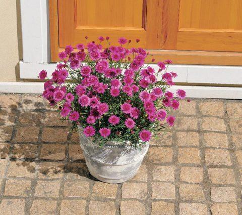Argyranthemum-frutescens-Madeira-Crested-Hot-Pink-301