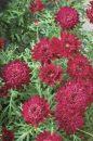 Argyranthemum-frutescens-Madeira-Crested-Meriot-001