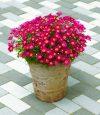 Argyranthemum-frutescens-Madeira-Red-302