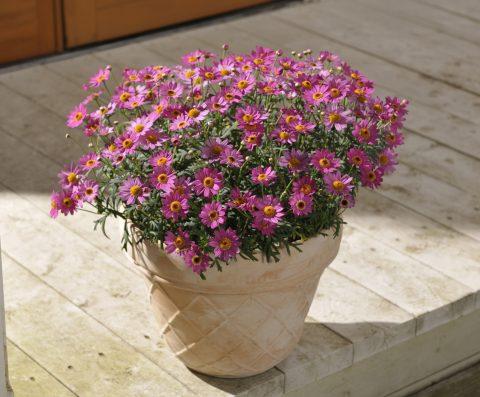 Argyranthemum-frutescens-Madeira-deep-pink-301