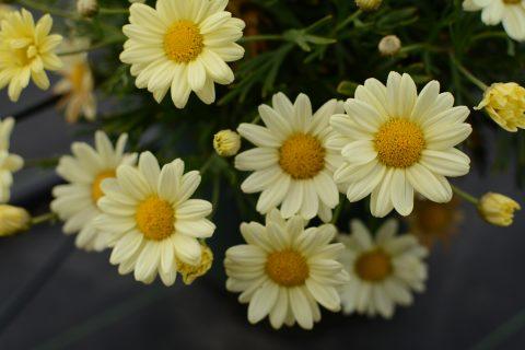 Argyranthemum-frutescens-Madeira-primorose-001