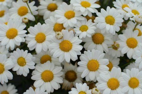 Argyranthemum-frutescens-Madeira-white-001