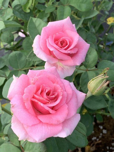 Rose-Brindabella-Pink-Princess-001