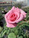 Rose-Brindabella-Pink-Princess-004