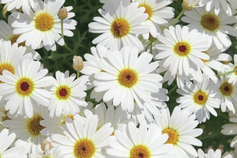 Argyanthemum-Grandaisy-White-Improved-101