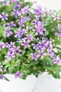 Catharanthus-Soiree-Blueberry-Kiss-002