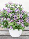 Catharanthus-Soiree-Blueberry-Kiss-303