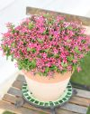 Catharanthus-Soiree-Coral-Reed-303
