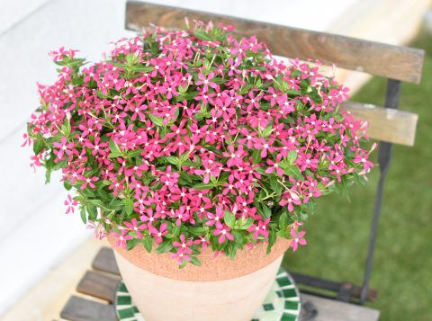 Catharanthus-Soiree-Coral-Reef-301