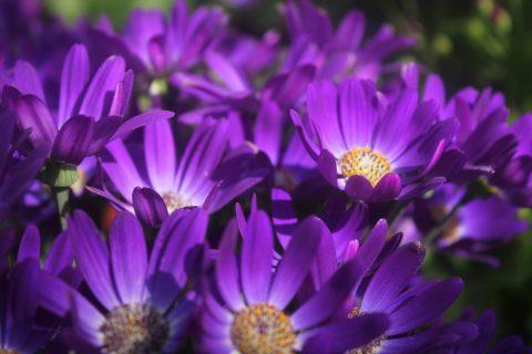 Pericallis-Senetti-Violet-001