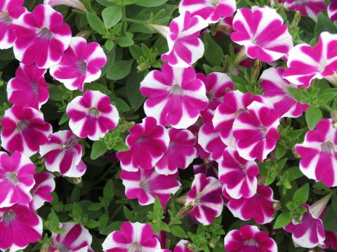 Petunia-Surfinia-Purple-Heart-001